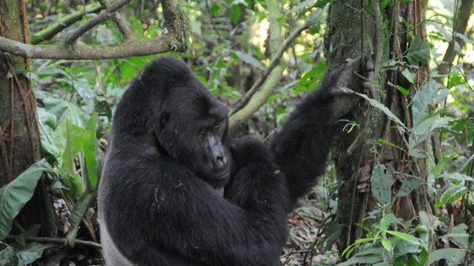 Gorilla Volunteer Safari Uganda