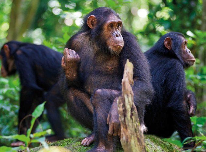 3 Days Rwanda Chimpanzee Trekking & Canopy walk Safari