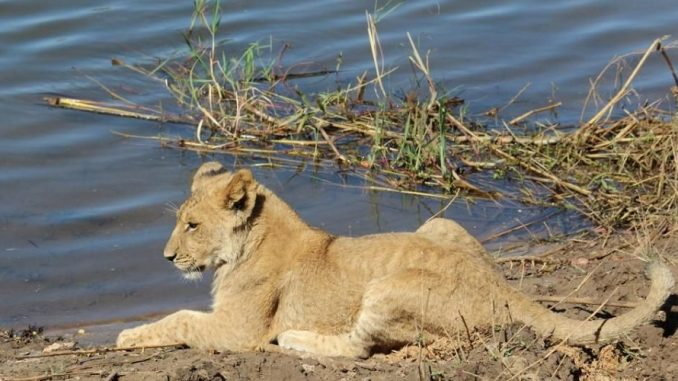 Volunteer with Animals Zambia