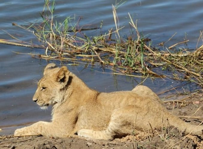 ZAMBIA: Volunteer with Animals